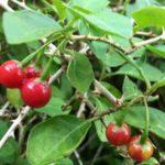 Hình ảnh cây cà gai leo và quả cà gai leo khi chín có màu đỏ!