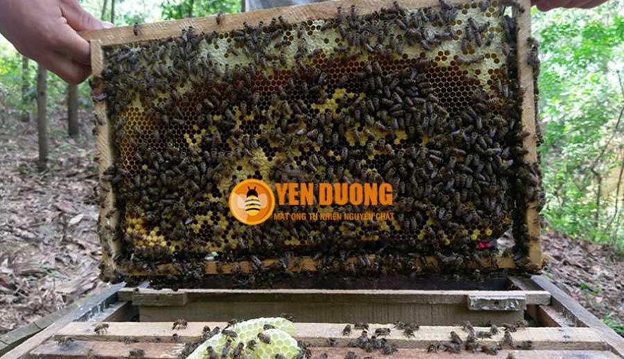 Cầu ong đang vào mùa thu hoạch mật!