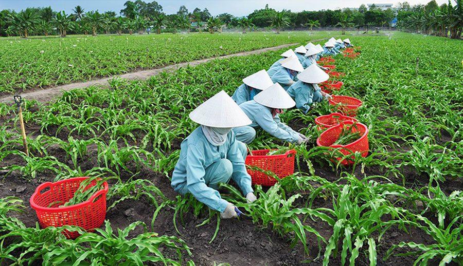 Công nhân thu hoạch Trinh nữ hoàng cung