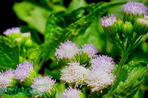 Chữa khỏi viêm xoang mãn tính khỏi 100% bằng hoa ngũ sắc!