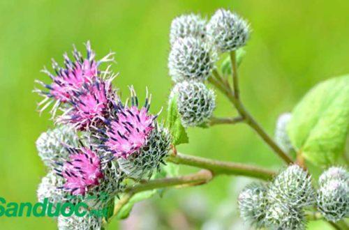 Cúc lục lăng, thảo dược được dùng hàng trăm năm trước!